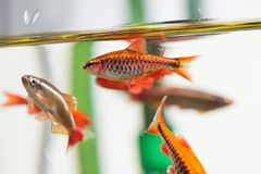 Group beautiful aquarium fishes red orange color. Cherry barb fishes macro nature concept. shallow depth of field Stock Photos