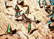 Group of beautiful butterfly. Stock Photography
