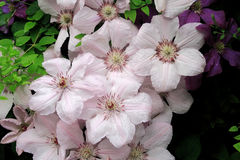 A group of beautiful Clematis pink fantasy flowers Royalty Free Stock Image