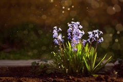 Group of beautiful colorful hyacinths Royalty Free Stock Photo
