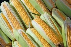 Group of beautiful corn Royalty Free Stock Photos