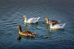 Group of beautiful ducks at Dammam Modon Lake. Saudi Arabia stock image