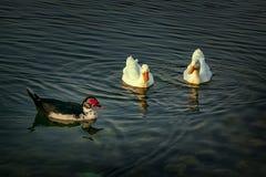 Group of beautiful ducks at Dammam Modon Lake. Saudi Arabia royalty free stock photos