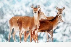 A group of beautiful female deer in the background of a snowy white forest. Noble deer Cervus elaphus.