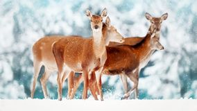 A group of beautiful female deer in the background of a snowy white forest. Noble deer Cervus elaphus. Artistic Christmas winte