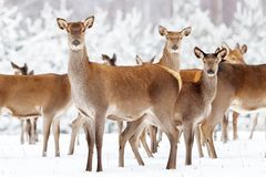 Group of beautiful female deer on the background of a snowy winter forest.