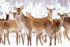 Group of beautiful female deer on the background of a snowy winter forest. Noble deer Cervus elaphus. Stock Photos