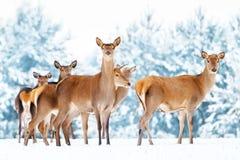 Group of beautiful female graceful deer on the background of a snowy winter forest. Noble deer Cervus elaphus.