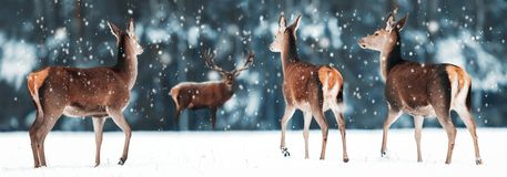 Group of beautiful female and male deer in the snowy white forest. Noble deer Cervus elaphus. Artistic Christmas winter image. stock photos