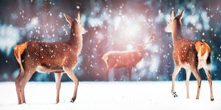 Group of beautiful female and male deer in the snowy white forest. Noble deer Cervus elaphus. Artistic Christmas winter image. stock images
