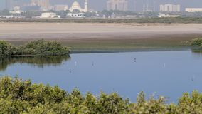 Group of beautiful flamingo birds with reflections, walking at the lake timelapse in Ajman, UAE. 4K stock image