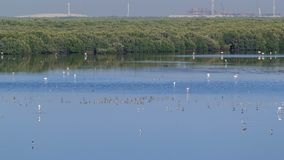 Group of beautiful flamingo birds with reflections, walking at the lake timelapse in Ajman, UAE. 4K stock photo