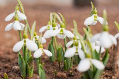 Group of beautiful fresh snowdrops in early spring Royalty Free Stock Photography