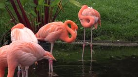 A group of beautiful gracious wonderful flamingo species birds resting in small water pond in green zoo park in 4k view stock video