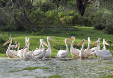 Group of beautiful Great white Pelicans Royalty Free Stock Photography