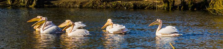 Group of beautiful great white pelicans swimming in the water together, Birds from Eurasia royalty free stock image