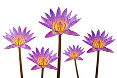 Group of beautiful lotus Stock Photos