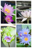 Group of beautiful lotus flower Royalty Free Stock Image