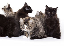 Group of beautiful Maine Coon kittens Royalty Free Stock Photo