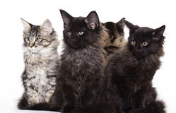 Group of beautiful Maine Coon kittens Stock Photo