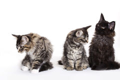 Group of beautiful Maine Coon kittens Royalty Free Stock Images