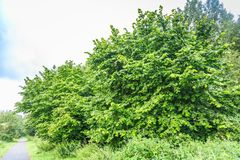 Mature hazelnut, Corylus avellana in a Arboretum. Group of beautiful mature hazelnut bushes, Corylus avellana, in a natural park stock images