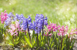Group of beautiful multicolored hyacinths in garden Stock Image