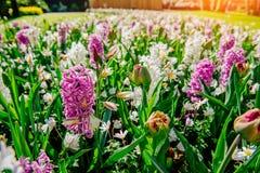 Group of beautiful multicolored hyacinths. Holland. Keukenhof Flower Park Royalty Free Stock Image