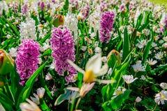 Group of beautiful multicolored hyacinths. Holland Keukenhof Flower Park Royalty Free Stock Image