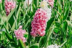 Group of beautiful multicolored hyacinths. Holland. Stock Photo