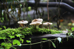 Group of beautiful mushrooms in the moss. On a log Royalty Free Stock Photo