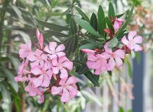 Group of beautiful oleander delicate pink exotic Stock Photography