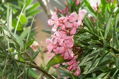 Group of beautiful oleander delicate pink exotic Stock Photo