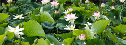 Group of beautiful pink and white lotus flowers, panoramic view. Group of beautiful pink and white lotus flowers or Nelumbo in full blossom in natural pond at Stock Image