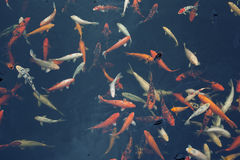 Group of beautiful Red Koi carps (fishes) in dark background Royalty Free Stock Images
