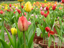 The group of beautiful red and yellow tulips flower Stock Photos