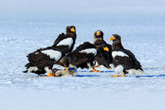 Group of beautiful Steller's sea eagle, Haliaeetus pelagicus. Bird of prey, with winter lake, Kamchatka, Russia. Stock Photography