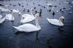 A group of the beautiful white swan floating in a cold water. royalty free stock image