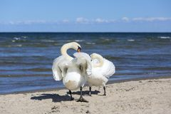 Group of beautiful white swans on a sandy beach in Sopot, Poland.  stock image