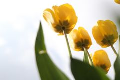 Group of beautiful yellow tulips in the spring sunshine Stock Images