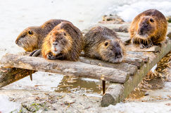 Group Of Beavers Royalty Free Stock Image