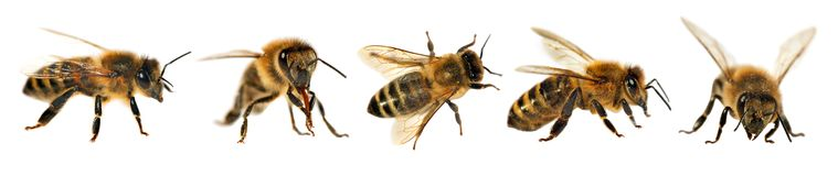 Group of bee or honeybee, Apis Mellifera Royalty Free Stock Photo