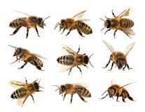 Group of bee or honeybee, Apis Mellifera. Group of bee or honeybee in Latin Apis Mellifera, european or western honey bee on the white background, golden royalty free stock images