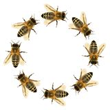 Group of bee or honeybee in the circle. In Latin Apis Mellifera, european or western honey bee isolated on the white background Stock Photo