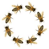 Group of bee or honeybee in the circle royalty free stock image