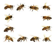 Group of bee or honeybee in Latin Apis Mellifera. European or western honey bees isolated on the white background, golden honeybees Stock Photo