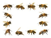 Group of bee or honeybee on white background, honey bees stock images