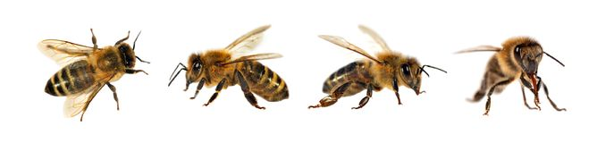 Group of bee or honeybee on white background, honey bees stock image