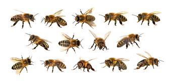 group of bee or honeybee on white background, honey bees Royalty Free Stock Images