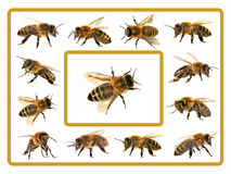 Group of bee or honeybee on white background, honey bees. Group of bee or honeybee in Latin Apis Mellifera, european or western honey bee isolated on the white Stock Image